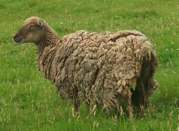 soay ewe does not moult