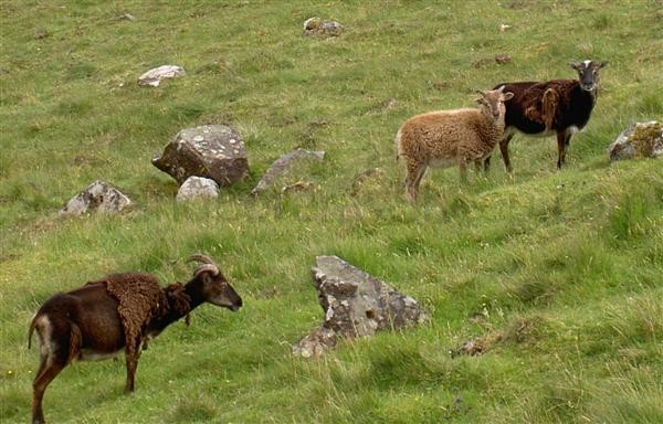 Soay ewes moulting