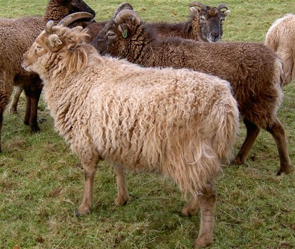 Primitive light phase Soay ewe winter