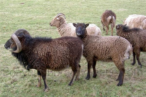 primitive and woolly Soay sheep