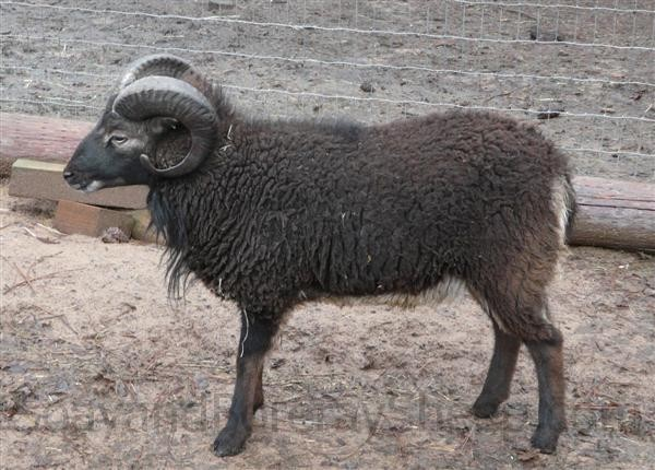 dark phase adult ram