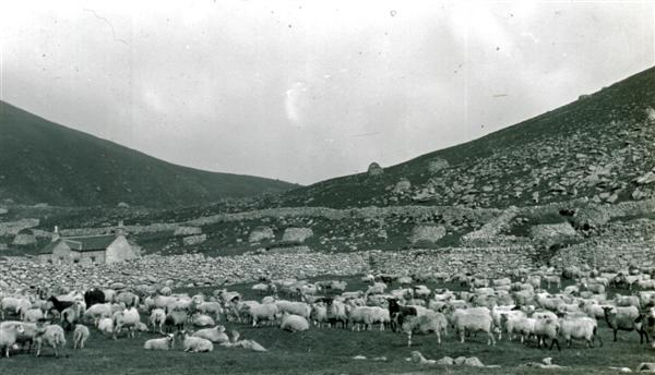 flock of sheepnear Factors House, Hirta