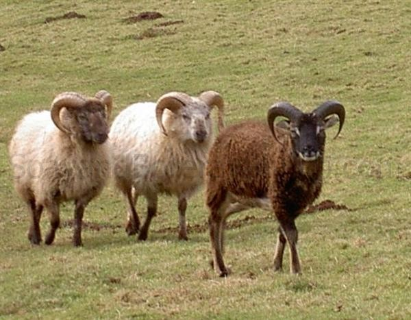 two boreray one Soay ram