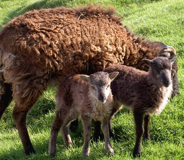 dark mouflon ram lamb left