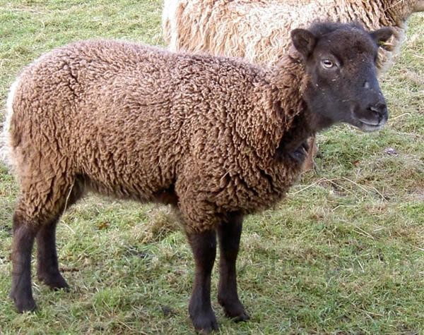 woolly Soay ewe, winter