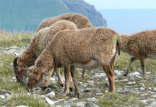 Soay ewes fully shed Hirta