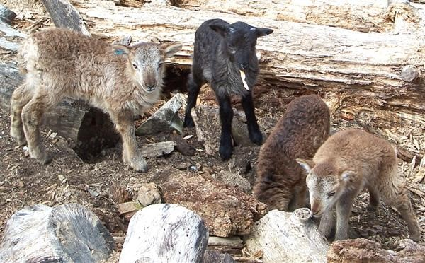 variety of colours in Soay lambs